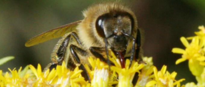 Un'ape mentre impollina un fiore.