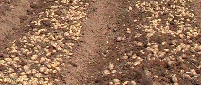 Raccolta della patate in Spagna.