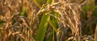 Cina: Agricoltura